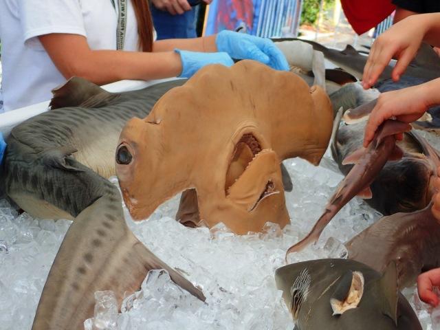 hammerhead shark at MarineQuest exhibit and display, St Petersburg, Florida, the greener bench blog