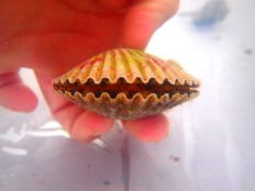 scallop being held in touch tank at MarineQuest, St Petersburg, Florida, the greener bench blog