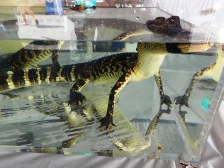 baby alligator in tank, MarineQuest, St Petersburg, the greener bench blog