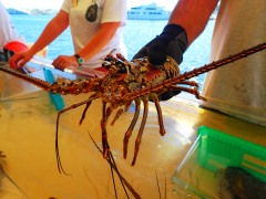 Florida spiny lobster, MarineQuest, St Petersburg, the greener bench blog