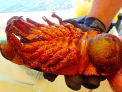 "Florida lobster ""tank"", MarineQuest, St Petersburg, the greener bench blog"