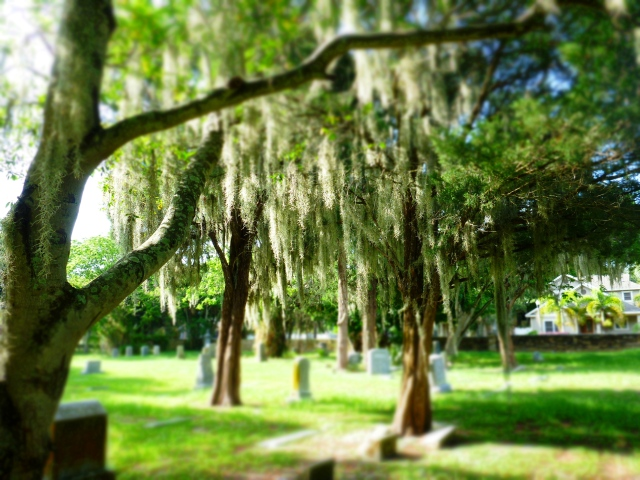 tree in greenwood cemetery, st Petersburg, florida, the greener bench blog