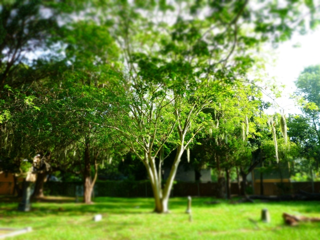 tree in greenwood cemetery, st Petersburg, florida, the greener bench blog